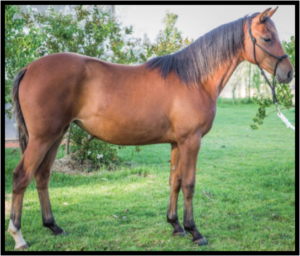 Peacemaker Alice Ross King, filly, WA, Peacemaker Walers